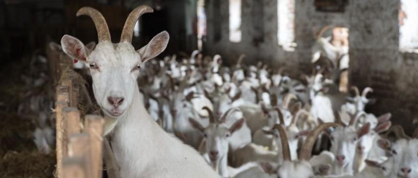 козы ферма