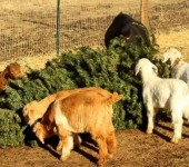 ap_goats_eat_christmas_trees_1_wy_141225_16x9_992