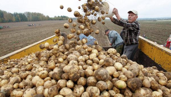 картофель сбор МО