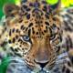 леопард Николай