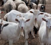 Истра козы