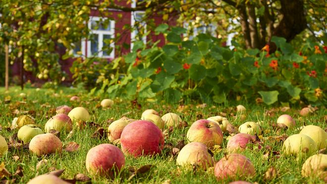 яблоки 01