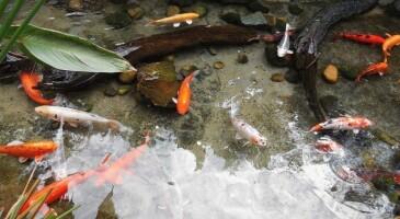 Декоративные-рыбки-Чистые-пруды-1024x512