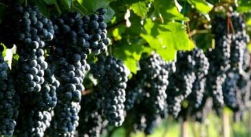 3994023-grapes